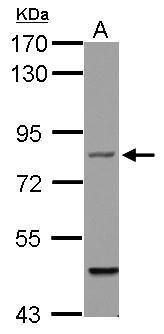 Filensin Antibody (PA5-29976) in Western Blot