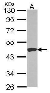 Carboxypeptidase B1 Antibody (PA5-29993) in Western Blot