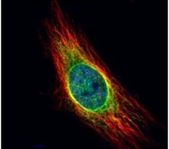 Cathepsin S Antibody (PA5-30002) in Immunofluorescence