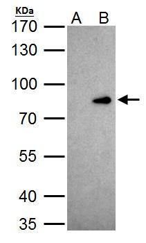 CUX1 Antibody (PA5-30003) in Immunoprecipitation