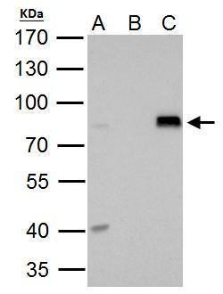 DRIL1 Antibody (PA5-30009) in Immunoprecipitation