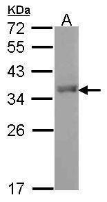 FOXI1 Antibody (PA5-30031) in Western Blot