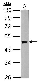 Flotillin 2 Antibody (PA5-30033) in Western Blot