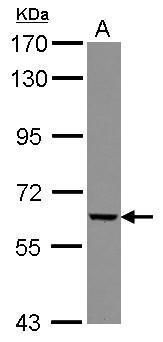 GGT5 Antibody (PA5-30042) in Western Blot