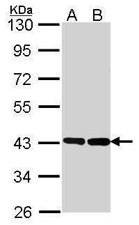 GNAO1 Antibody (PA5-30044) in Western Blot