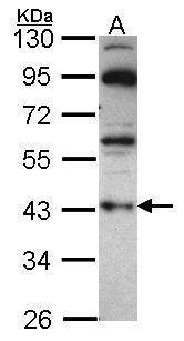 GNAZ Antibody (PA5-30045) in Western Blot