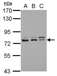 GTF2F1 Antibody (PA5-30050)