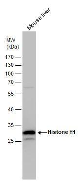 Histone H1 Antibody (PA5-30055) in Western Blot