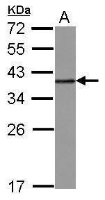 hnRNP A2B1 Antibody (PA5-30061) in Western Blot
