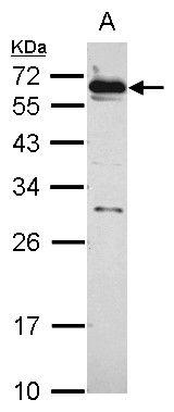 HSF2 Antibody (PA5-30064)