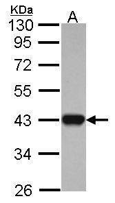 IDH3A Antibody (PA5-30069) in Western Blot