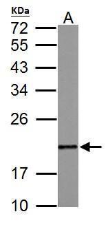 MAFG Antibody (PA5-30086) in Western Blot