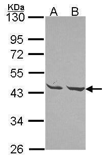 MPI Antibody (PA5-30092) in Western Blot