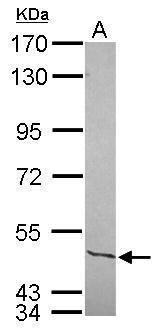 NFIC Antibody (PA5-30101) in Western Blot