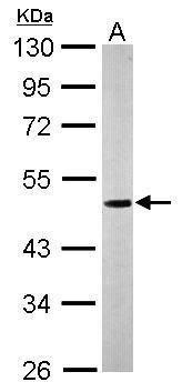 NUCB1 Antibody (PA5-30107) in Western Blot