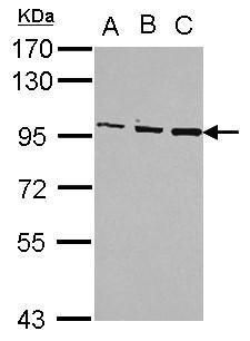 OSBP Antibody (PA5-30111)