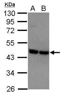 P2Y2 Antibody (PA5-30113)