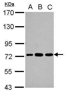 PABPC3 Antibody (PA5-30115) in Western Blot