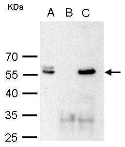 POU3F2 Antibody (PA5-30124) in Immunoprecipitation