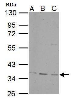 PPP4C Antibody (PA5-30128) in Western Blot