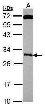 Kallikrein 10 Antibody (PA5-30131)