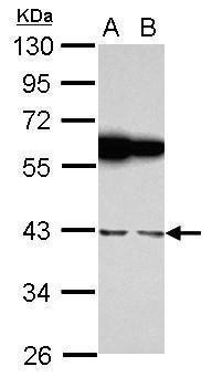 RBMS1 Antibody (PA5-30147) in Western Blot