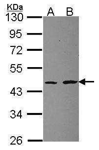 RPL3 Antibody (PA5-30154) in Western Blot