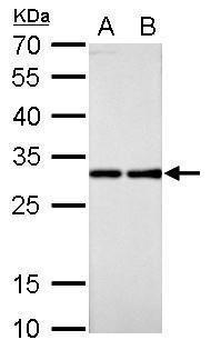 RPL7A Antibody (PA5-30155) in Western Blot