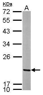 MRPL12 Antibody (PA5-30159) in Western Blot