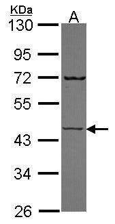 SEMG1 Antibody (PA5-30168) in Western Blot