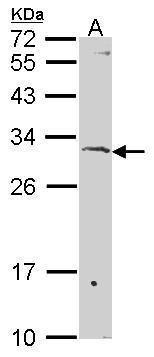 SURF1 Antibody (PA5-30187) in Western Blot