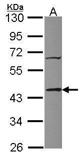 TIAL1 Antibody (PA5-30191) in Western Blot