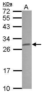 Claudin 5 Antibody (PA5-30193) in Western Blot