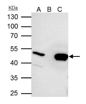 UQCRC2 Antibody (PA5-30204) in Immunoprecipitation