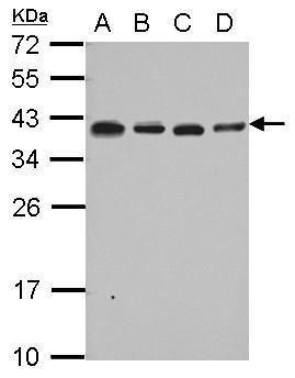 RPL6 Antibody (PA5-30217) in Western Blot
