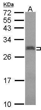 SNRPN Antibody (PA5-30225) in Western Blot