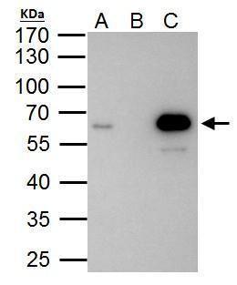 PKNOX1 Antibody (PA5-30244) in Immunoprecipitation