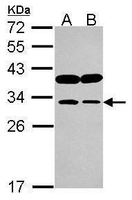 IMPA1 Antibody (PA5-30249) in Western Blot