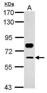 TFCP2 Antibody (PA5-30257)