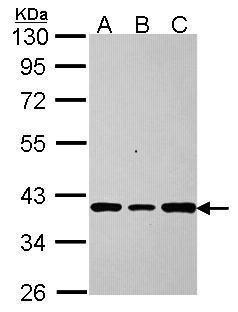 AKR7A2 Antibody (PA5-30280)