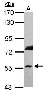 RNF8 Antibody (PA5-30295)