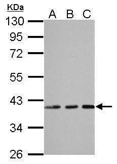 EMAP II Antibody (PA5-30306) in Western Blot