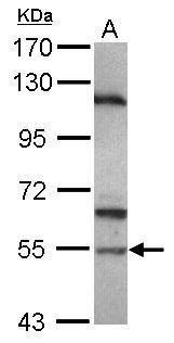 SPAG6 Antibody (PA5-30318) in Western Blot