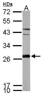PRDX6 Antibody (PA5-30320) in Western Blot