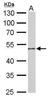 GDA Antibody (PA5-30322) in Western Blot