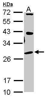 OPRS1 Antibody (PA5-30372) in Western Blot