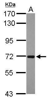 RGS14 Antibody (PA5-30396)