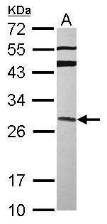 GRAP Antibody (PA5-30404) in Western Blot