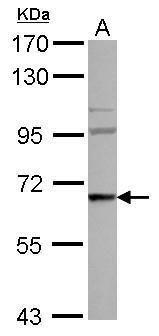 WASF3 Antibody (PA5-30409) in Western Blot