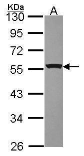 RbAp48 Antibody (PA5-30422) in Western Blot